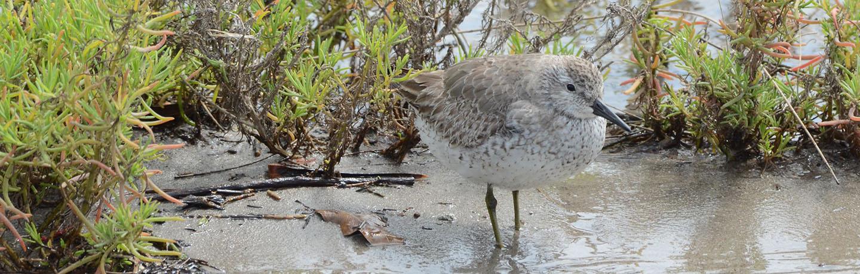 Grey Plover at Penrhyn Estuary